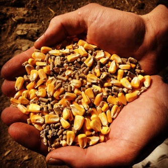 Protein pellets and whole shell corn.