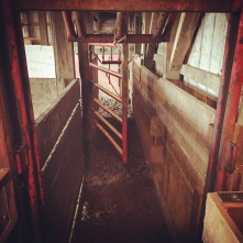 After going through the tub, they enter this alley which leads to the head gate. We catch them in a head gate so we can implant the growth hormone under the skin of their ear.